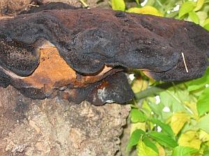 Decay fungi Inonotus hispidus on an Ash tree